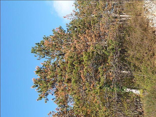Sušenje najmlajših borovih poganjkov je samo ena od   bolezni, ki napadajo črni bor na Krasu. Tudi brez njih se bor  slabo obnavlja.
