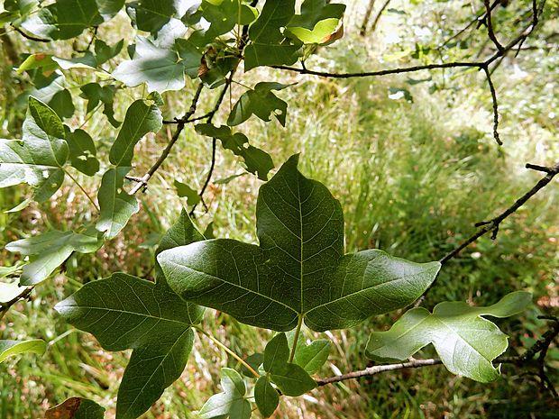 Trokrpi javor ima ime po tridelni obliki listov.