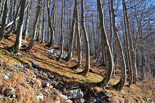 Bukev bo na območju od Postojnskih vrat do Snežnika  prevzela večino prostora, ki so ga zdaj zavzemale smreke. Na  fotografiji je bukov gozd na Snežniku z značilnimi ukrivljenimi  debli pri tleh zaradi snega.