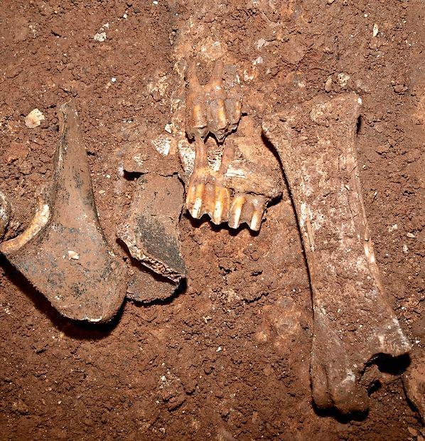 Kosti v Brgevčevi jami pripadajo več kot 10.000 let starim živalim.