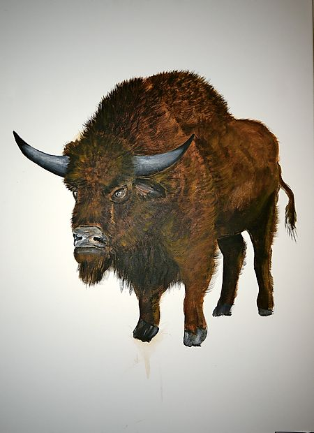 Stepski bizon, kakršen je  živel na naših tleh pred skoraj 13.000 leti.