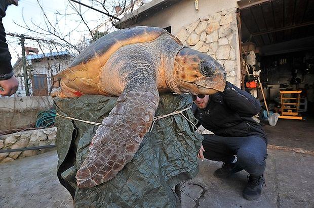 Veterinar Marino Mirčeta je povedal, da morje morske želve  pogosto odvrže na obalo. Poudaril pa je, da še nikoli prej ni  videl tako velikanske želve, kot je bila ta, ki so jo v ponedeljek  našli ob obali Karinskega morja.