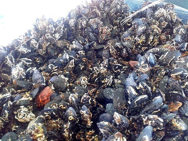 Uprava RS za varno hrano, veterinarstvo in varstvo rastlin je  iz prodaje odpoklicala žive školjke - klapavice proizvajalca  Prosub d.o.o iz Portoroža.