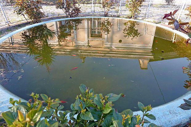 Še spomladi so  ribice brezskrbno plavale v ribniku  in niti  slutile niso, kakšna usoda jih bo doletela sredi julija.