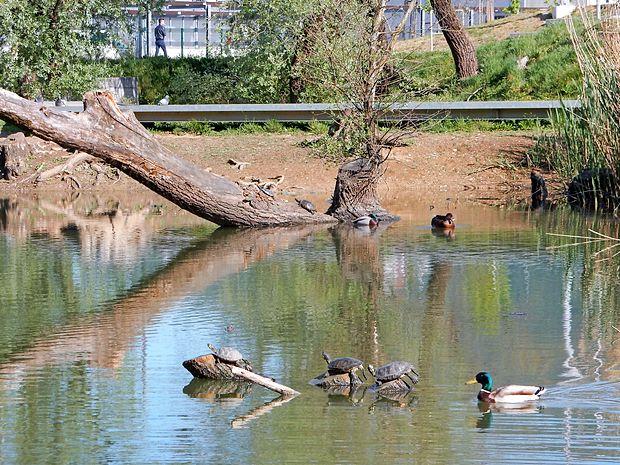 V bajerju v Borovem gozdičku je opaziti več kot deset želv, ki so jih tja najverjetneje izpustili  lastniki.