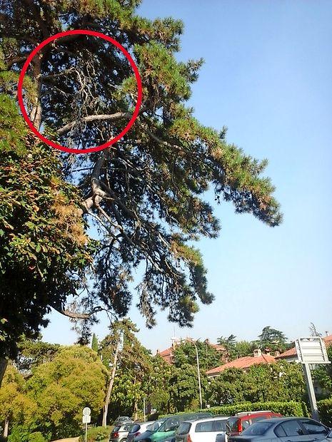 Na  parkirišču pri balinišču v Arrigoniju smo opazili posušeno  vejo.  V  Komunali so nam obljubili, da bodo ukrepali.