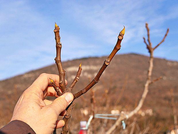 Nasad fig čaka na pomlad.