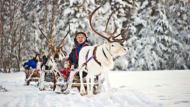 V ravninskih prostranih gozdovih so severni jeleni prava paša  za oči.