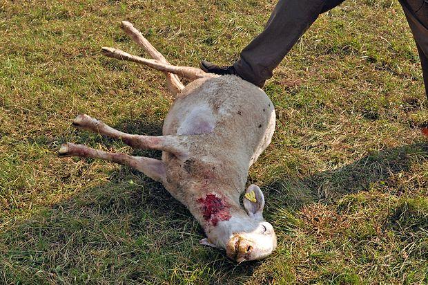 Volkovi so ponoči v Čepovanski dolini pojedli  le eno ovco,  druge pa ubili z ugrizom v goltanec.