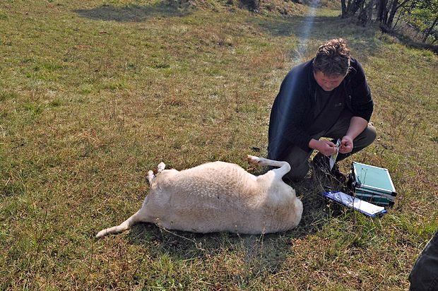 Cenilec za škodo, ki jo povzroči zaščitena živalska vrsta, je  z  ovc vzel DNK vzorce sledi volkov.