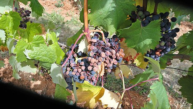 Zaradi visokih temperatur je ožig prizadel veliko vinogradov refoška na Krasu. majda brdnik