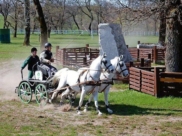Lipicanci so  pametni in močni konji, zato so priljubljena  pasma pri vožnji z dvovpregami.