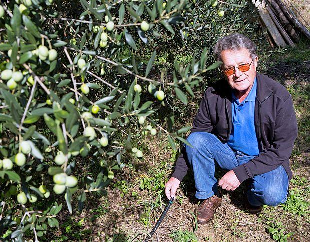 Projekt poskusnega namakanja oljk poteka v oljčniku Angela Hlaja v Dekanih.
