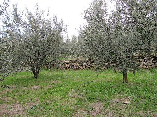 Po podatkih registra kmetijskih gospodarstev v  Sloveniji namakajo 19 hektarjev oljčnikov. Večina se poslužuje principa kriznega namakanja - drevesa uačnejo zalivati šele ob pojavu suše, čeprav je po mnenju strokovnjakov neprimerno učinkovitejše deficitarno namakanje - oljke namerno oskrbimo z manj vode, kot je potrebno.