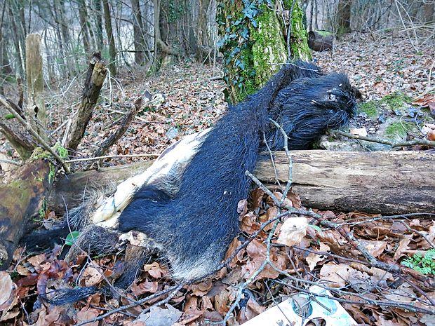 Odpadna koža merjasca v bližini cestnega počivališča pri Podgradu.