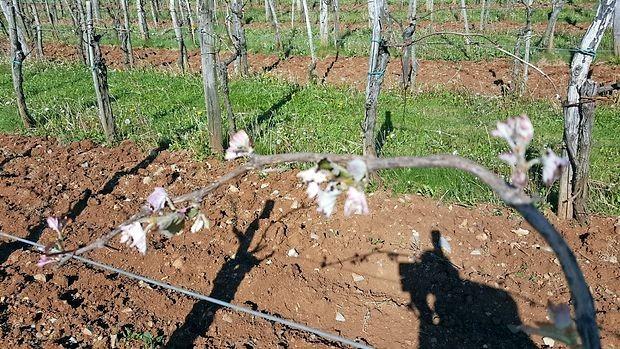 Na Krasu je pozeba najbolj prizadela višje ležeče vinograde v  Hruševici.