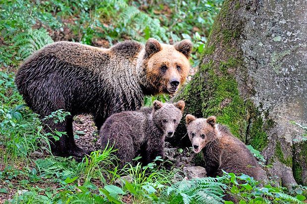 """Kjer se ob odraslih medvedih pojavljajo tudi medvedji mladiči, so medvedi """"doma"""".  Slovenija je po raziskavi biotehniške fakultete dom 564 medvedom. Čeprav se je število medvedov povečalo za tretjino, lovci niso zabeležili napadov na človeka."""