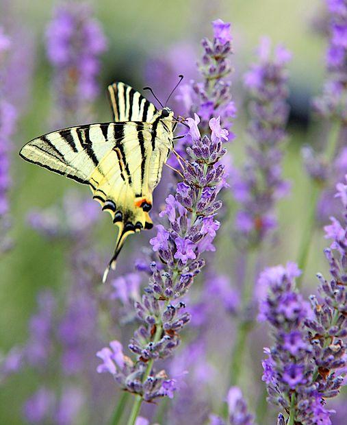 V Slovenski vasi pri Pivki so doma tudi metulji.