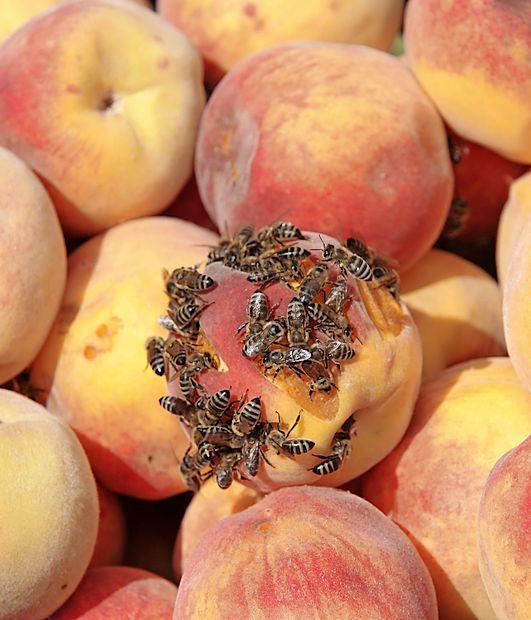 Previdno z zrelim sadjem, še posebej na prostem.