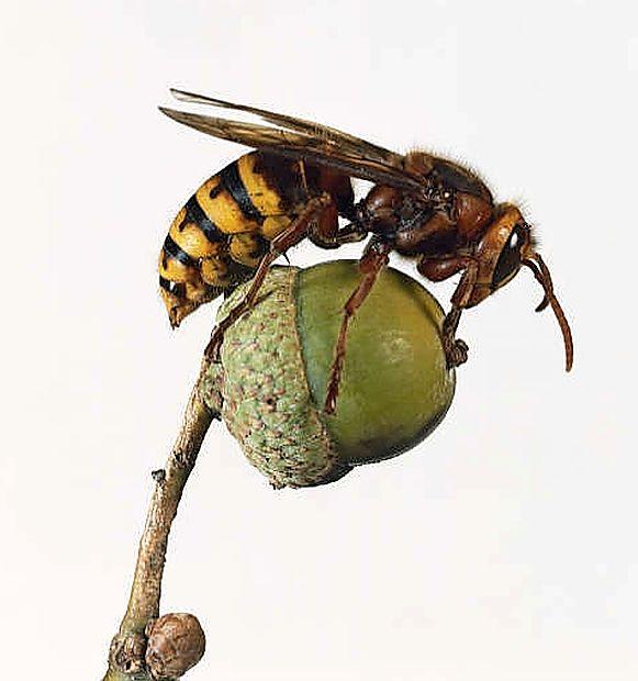 Sršeni se, podobno kot ose in čebele,  radi zadržujejo blizu  hiš, še posebej, če vonjajo hrano, zlasti sladko sadje.