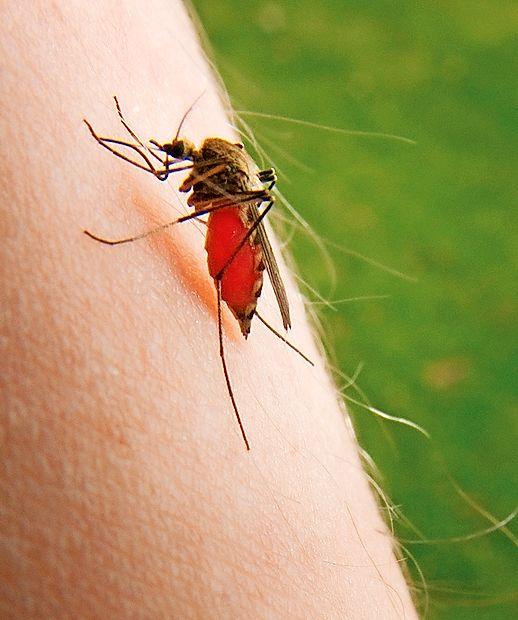 Domnevajo,  da se je komar najprej napil krvi otroka, ki se je   zdravil za malarijo, zatem  je ta isti komar pičil  deklico in jo  tako okužil.