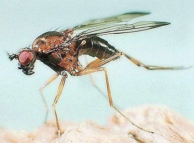 Malarijo prenašajo na človeka samice komarjev vrste Anopheles.