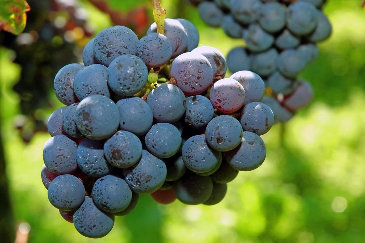 vsebnost sladkorja v suhem vinu