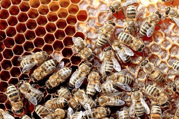 """Zakaj Srbi in Hrvatje rečejo """"pčela"""", Slovenci pa """"čebela""""?"""