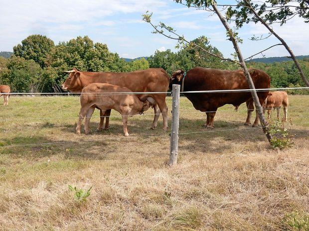 Krave namesto ovc, sadovnjaki in vinogradi se starajo
