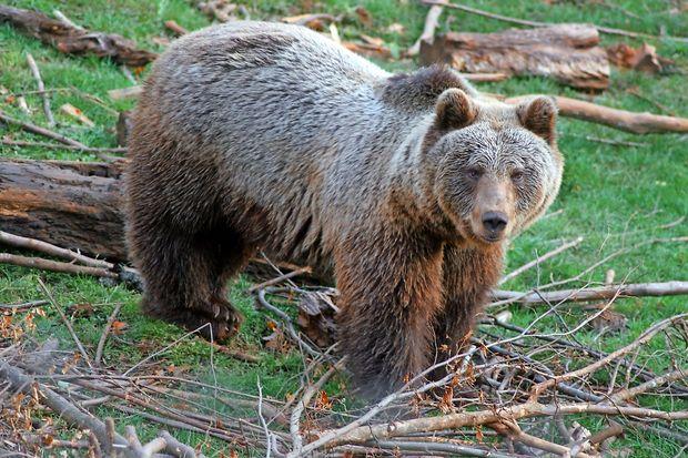 V znamenju medveda