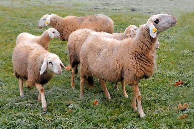 Vlada, ovca, val ali ulada, ofca, vau?