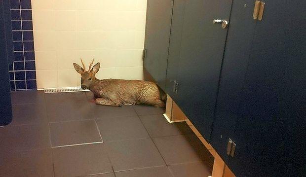 Srnjaček se je iz morja obnemogel zatekel v stranišče