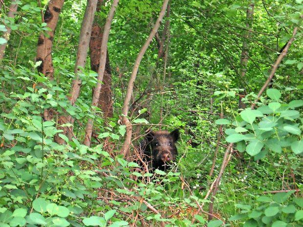 Porast divjih svinj