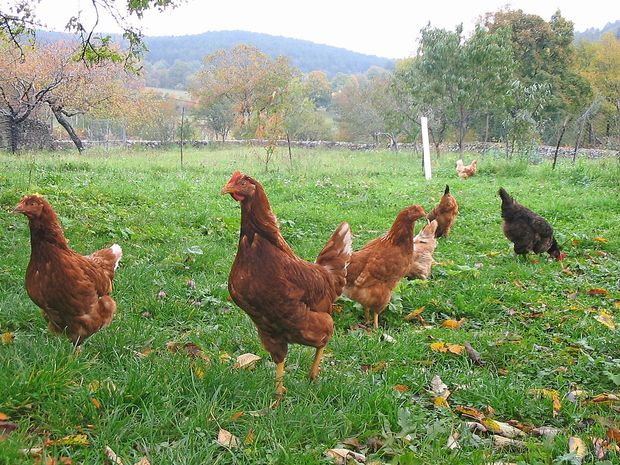 Gensko spremenjene kokoši valijo zdravila