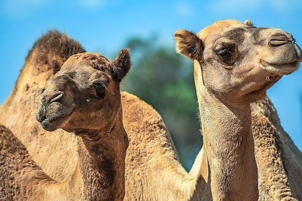 Na jugu Nemčije kamela povzročila zmedo na cesti
