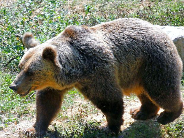 Do septembra 2018 odstrel 132 medvedov in 10 volkov