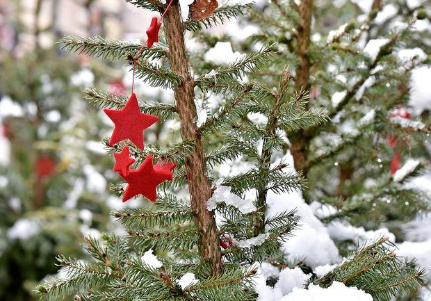 V neurju podrte jelke v Italiji naprodaj kot božična drevesca