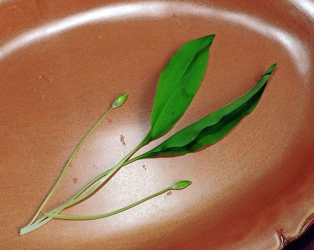 Ločite zdravilni čemaž od strupenih rastlin?