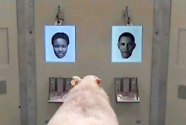 Ovca je prepoznala Obamo