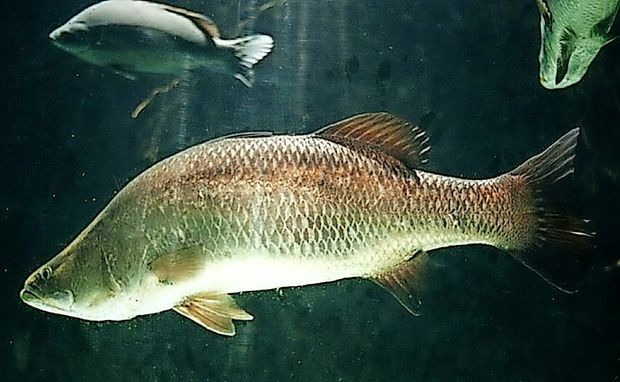 Upokojenka ujela 54-kilogramsko ribo
