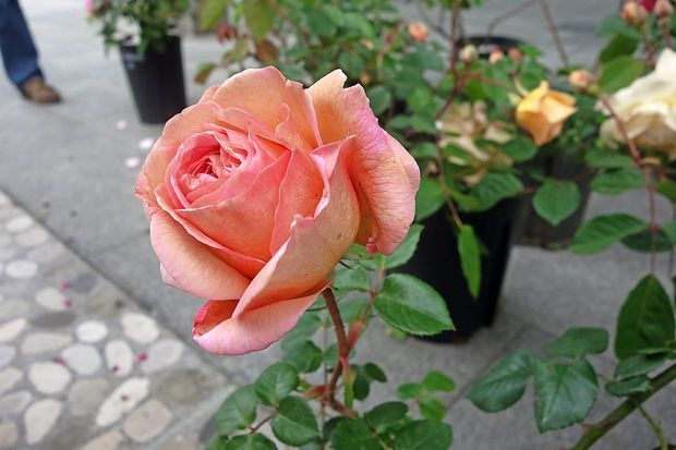 Dan za rože in prostovoljstvo