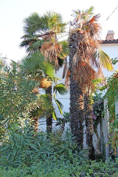 Da bi zajezili napad palmovega vrtača, bodo akcijo ponovili