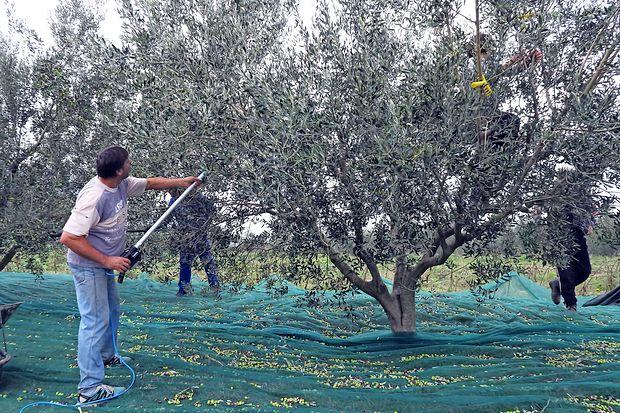 Letošnja letina oljk skromnejša, a kakovostna