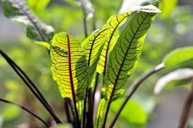Kislica, rastlina s premislekom