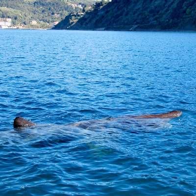 Morski pes orjak je spet na severu.  Foto: Tomislav Rus