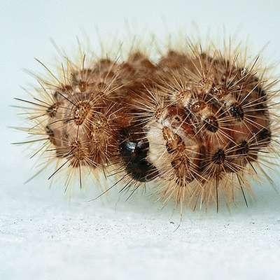 Ob stiku z gosenico se njene dlake zapičijo v kožo in   zaradi krhkosti  zlomijo. Takrat se izloči  strup, ki  vsebuje toksične proteine,  histamin in histaminu podobne snovi. Foto: /