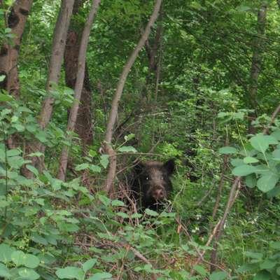 Divje svinje se zadnja leta pretirano množijo in selijo bliže  človeku. Foto: Marica Uršič Zupan