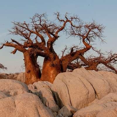 Baobab Foto: pixabay.com
