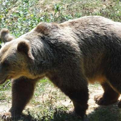Medved napadel kravo in telička pod Čavnom?