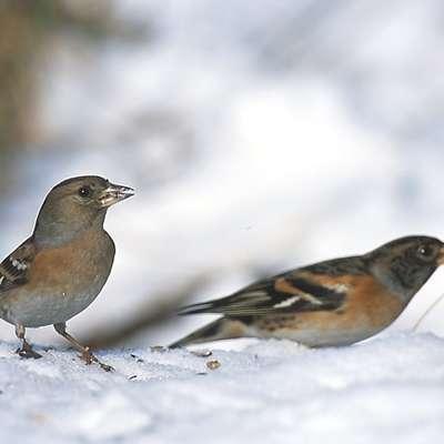 Pinoža   je ptica severnih krajev in pri nas  redna zimska gostja. Foto: Wikipedia/Marek Szczepanek